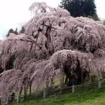 三春の滝桜~見頃とアクセス情報をチェック!