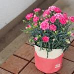 母の日ギフト~カーネーションや珍しい花の鉢植えを厳選!