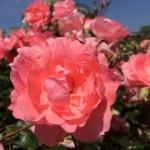 バラのうどんこ病の治療方法~早めの対処、対策が重要!