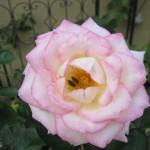バラの害虫駆除と対策~効果的なのは何?