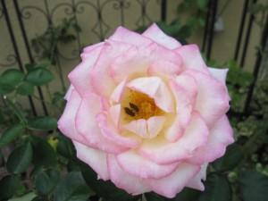 バラと害虫
