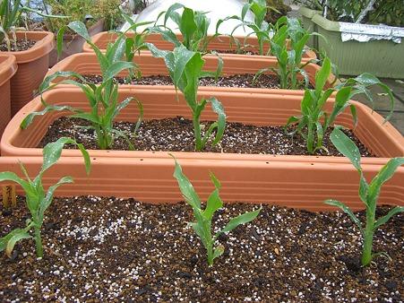 とうもろこしプランター栽培