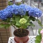 あじさいの鉢植えの育て方~綺麗に咲かせるためには?